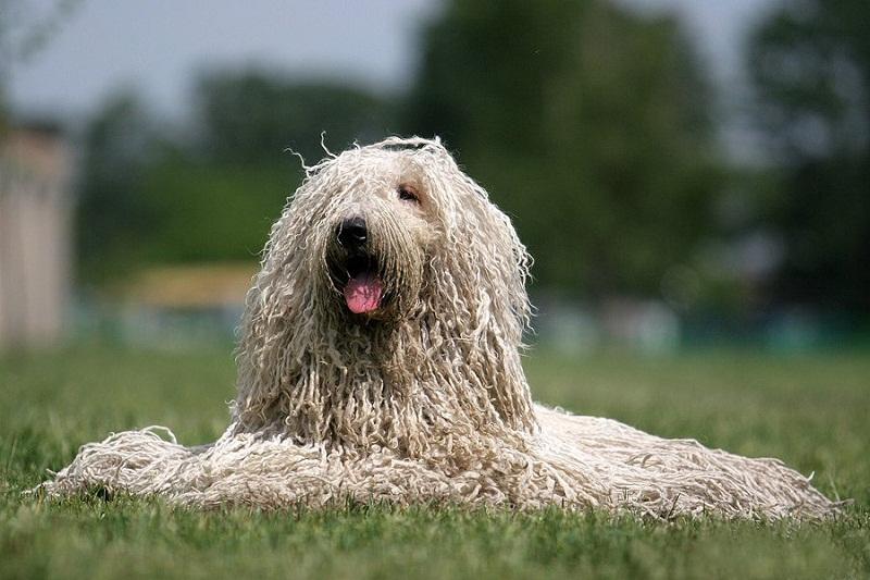 самые дорогие породы собак: Комондор фото