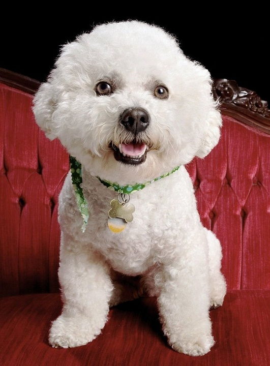 собака дорогой породы Бишон фризе фото