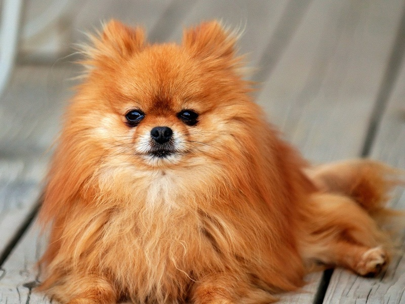 самые дорогие маленькие собаки: Померанский шпиц (карликовый шпиц) фото