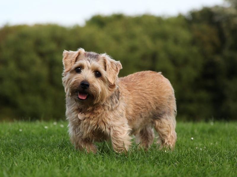 10 самых дорогих собак: Норфолкский терьер фото