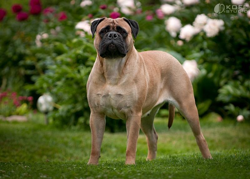 Perros de grandes razas: Bullmastif photo