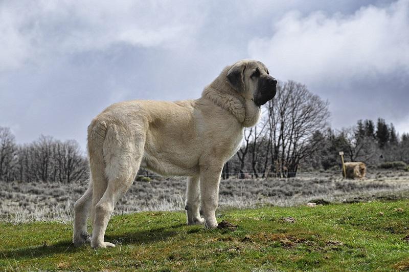Baka anjing terbesar: Mastiff Sepanyol. Foto