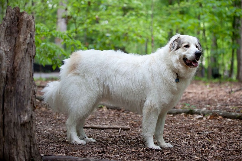 Raza de grandes perros buenos: montaña pirenaica. Foto