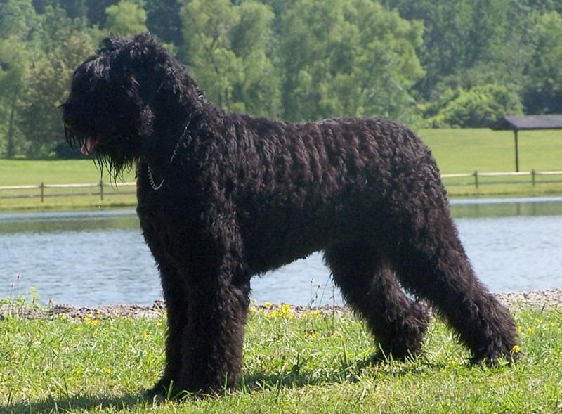 Breeds of Big Saiz: Rusia Hitam Terrier. Foto