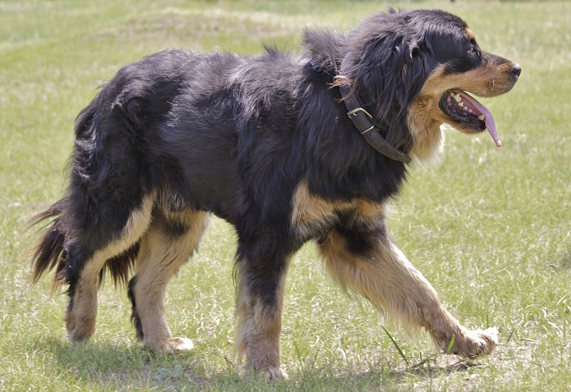 Breed Dogs Buryat-Mongolia Wolfhound / Hotosho. Foto