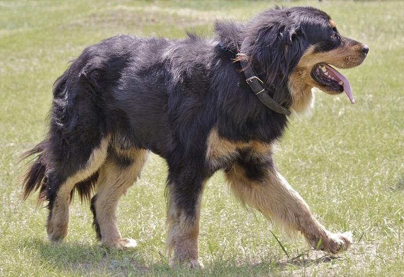 Perros de raza Buryat-Mongolian Wolfhound / Hotosho. Foto