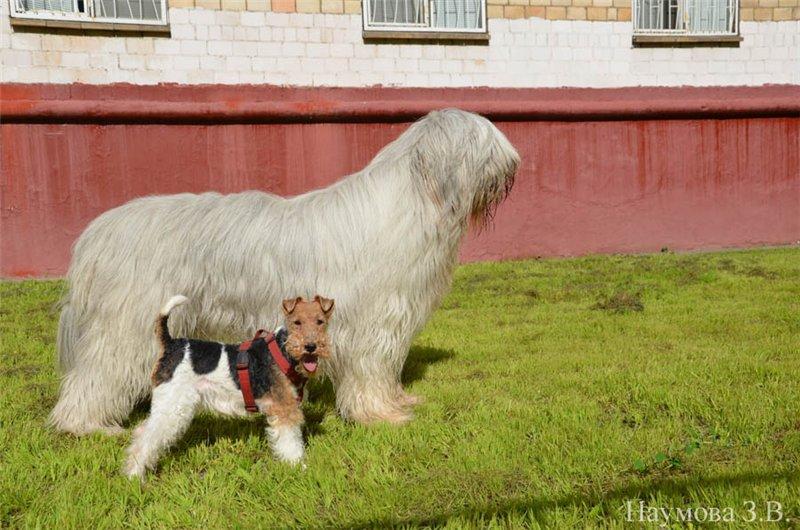 Gembala Rusia Selatan dan perbandingan rubah terrier anjing