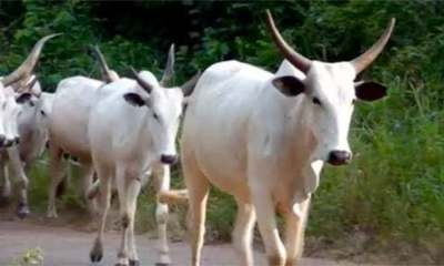 Three suspects arrested for stealing cows valued at N500,000 topnaija.ng