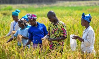 rice farm in africa