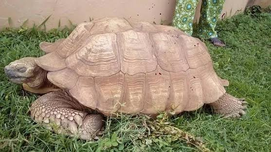 JUST IN: Alagba, 344-year-old Tortoise In Soun's Palace, Is Dead