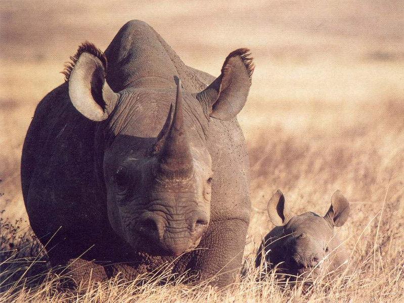 Камерунский чёрный носорог