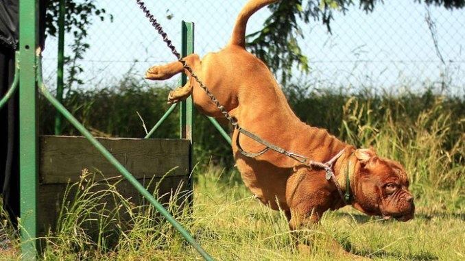 bulldog-training