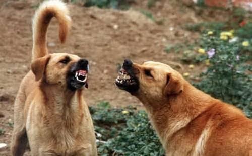 Perros gruñiendo