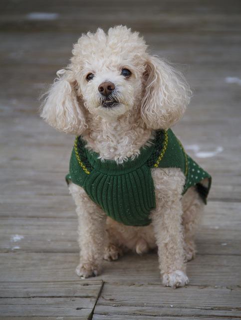 Perro Mini que comerá Pro PLan Adult Sensitive