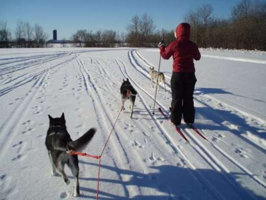 Skijoring mushing
