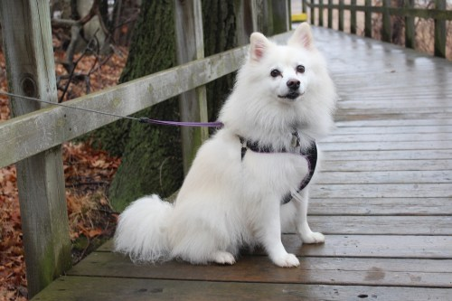 El American Eskimo dog destaca por su pelo blanco y sus ojos negros