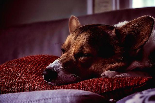 Tranquilizantes naturales para perros