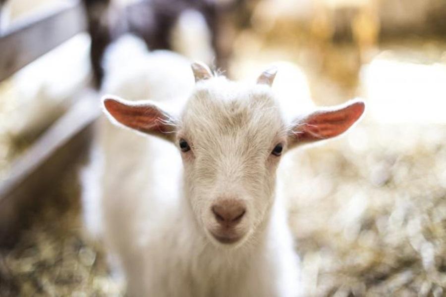 Албанија почиње извоз оваца и коза у Србију
