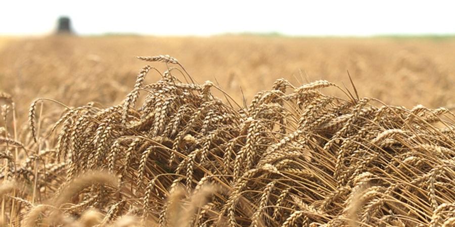 Српска пшеница ускоро у Египту и Кини