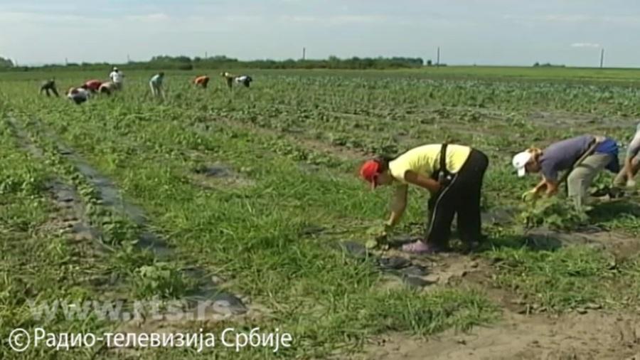 Бољи услови за сезонске раднике у Србији:  Гарантован пензијски стаж, зарада и плаћени доприноси