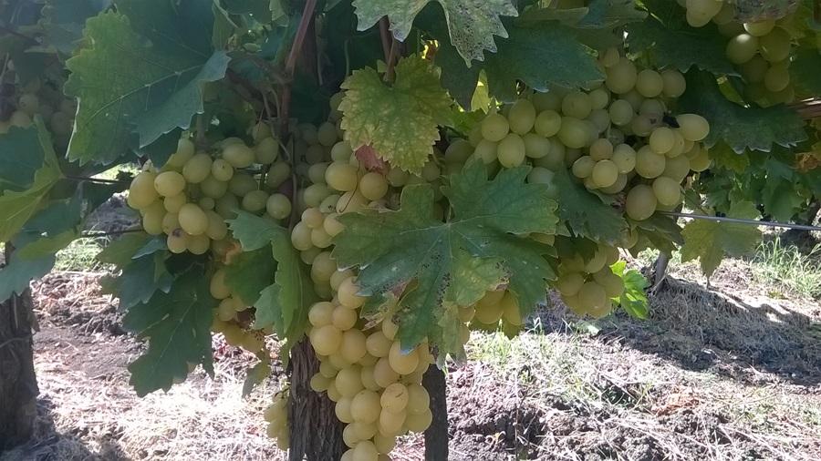 Србија добија нови институт за виноградарство и винарство
