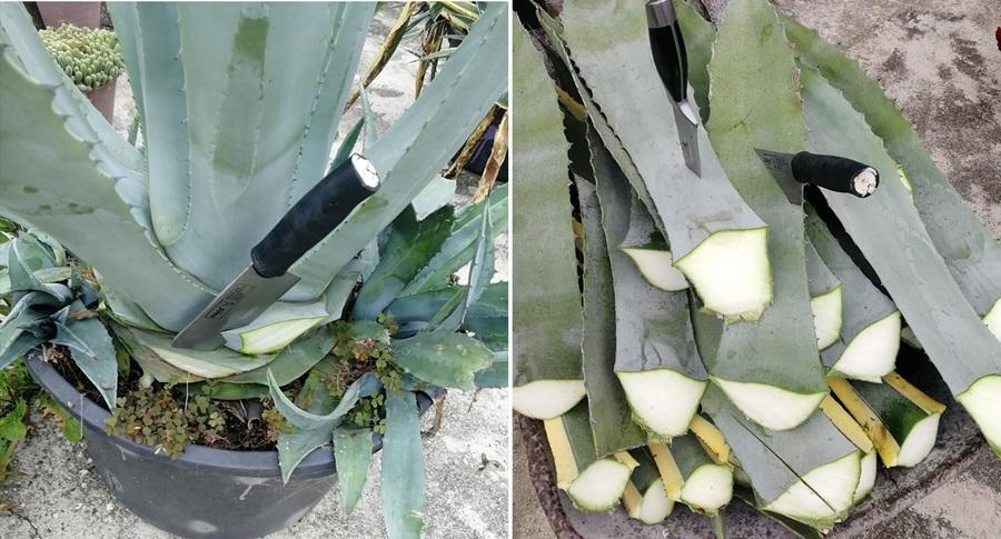 Мексичко пиће из срца Шумадије: У Загорици потекла текила, ево каквог је укуса и како се прави