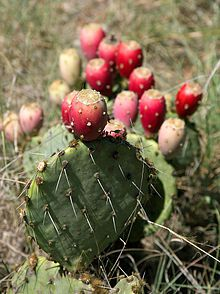 220px-prickly_pear_closeup