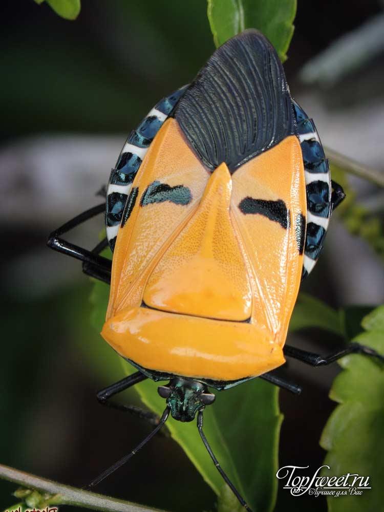 fülöp rovarok)