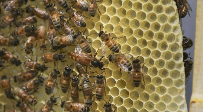 A honey bee queen, center, mills about a honeycomb as it's hive receives routine maintenance as part of a collaboration between the Cincinnati Zoo and TwoHoneys Bee Co., Wednesday, May 27, 2015, at EcOhio Farm in Mason, Ohio. A federal rule to be proposed Thursday, May 28, would create temporary pesticide-free zones when certain plants are in bloom around bees that are trucked from farm to farm by professional beekeepers, which are the majority of honeybees in the U.S. (AP Photo/John Minchillo)