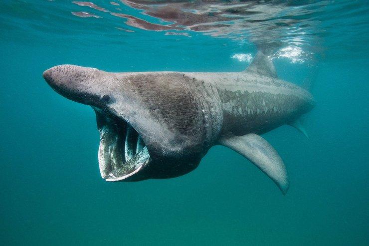 Үлкен акуланың негізгі тамағы ұсақ балықты, планктон, криллді құрайды