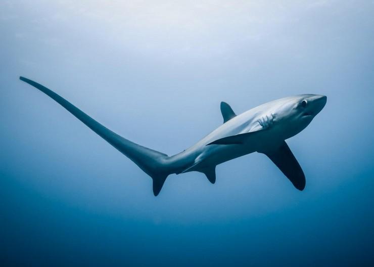 Акуланың түлкі өте ерекше, оның құйрығы қамшының рөлін ойнайды