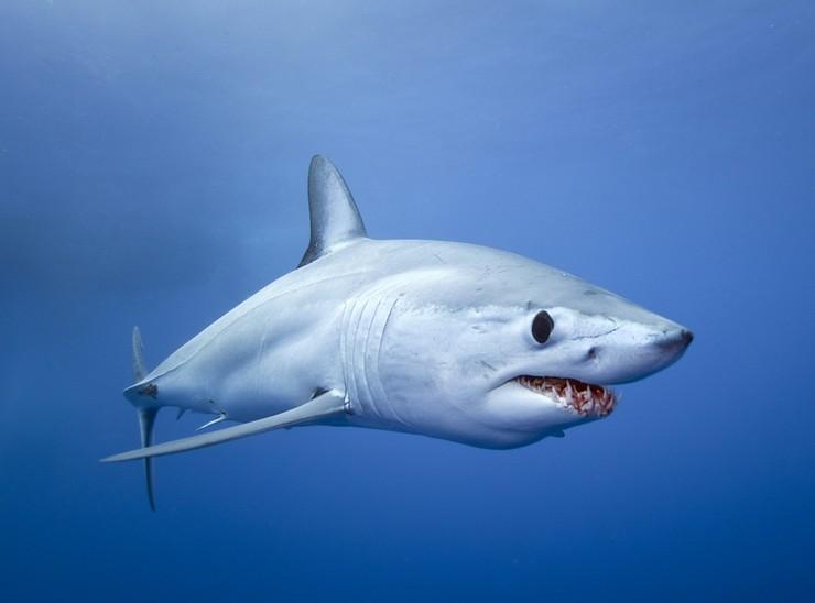 Shark-Mako үлкен өлшемдермен ерекшеленеді, ал Майыршық акулалар арасында ерекше жылдамдықпен ерекшеленеді