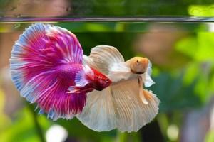 betta fish sleeping position