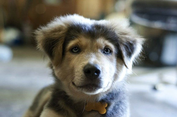 German-Shepherd-Husky-mix-puppy