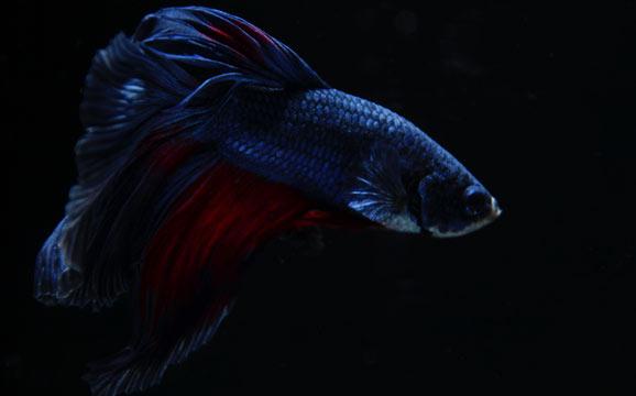 betta-fish-care