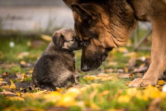 German-Shepherd-puppies
