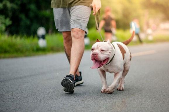 Pitbull physical traits
