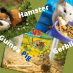 Hamster vs Guinea Pig vs Gerbil