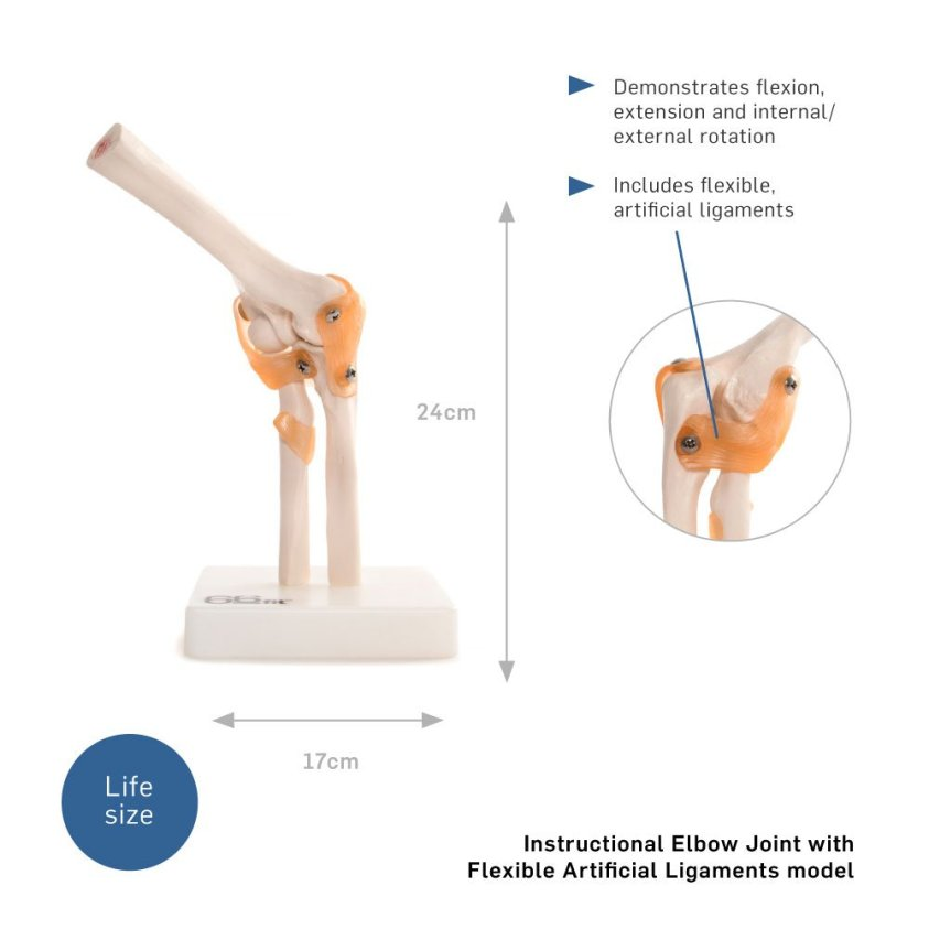 66fit Anatomical Human Elbow Joint - Medical Educational ...