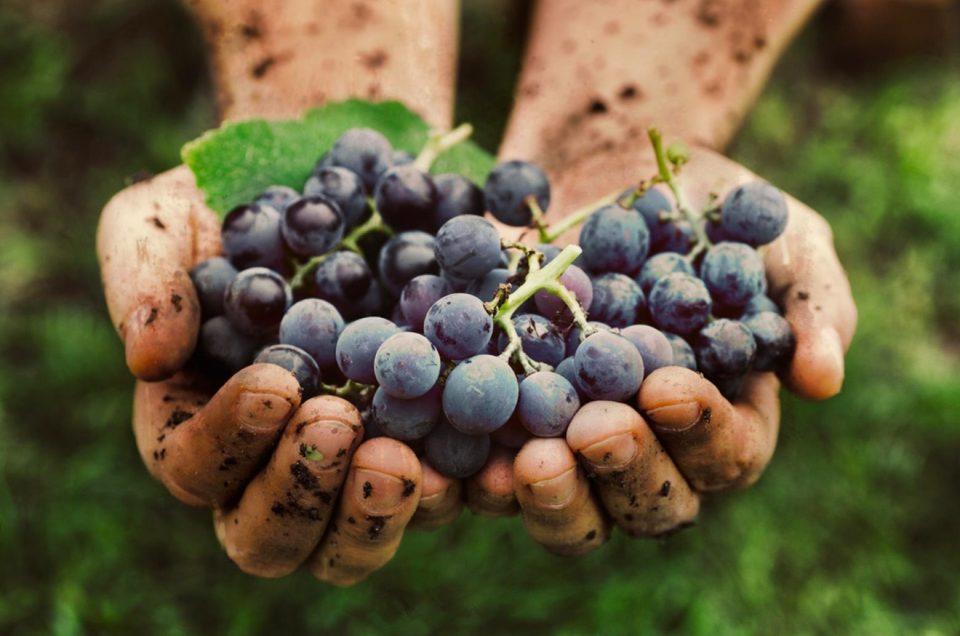 Vindima - Festa da colheita da uva