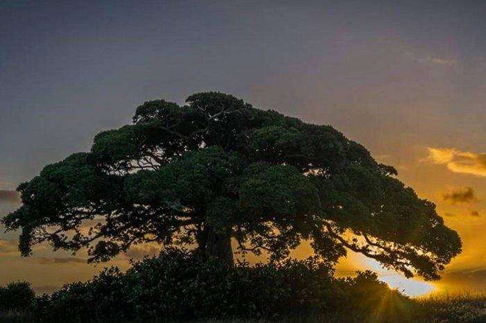 Caminho das Figueiras Centenárias – Arambaré