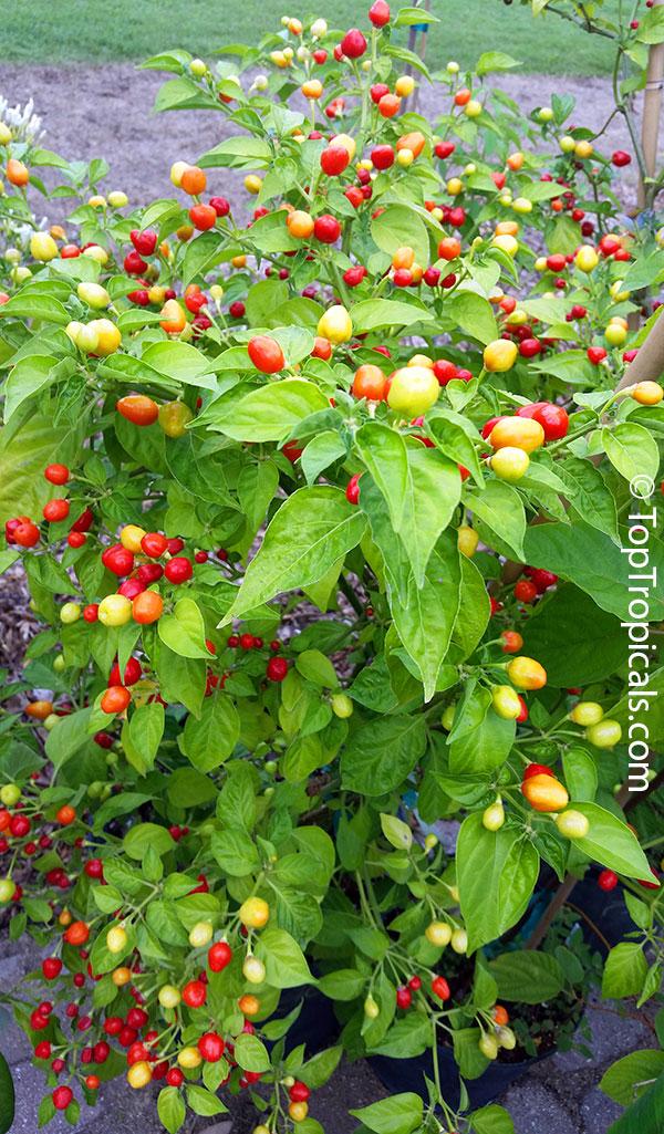Ornamental Pepper Plants Sale