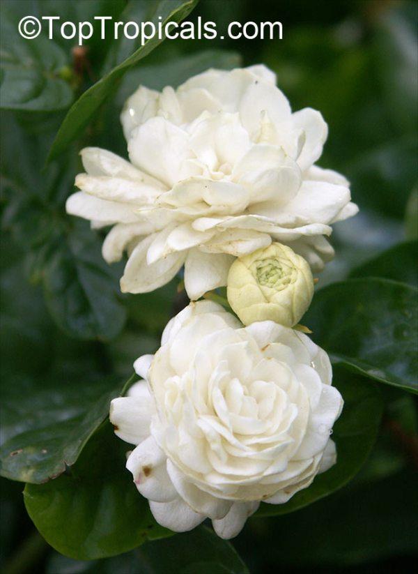 Jasminum sambac Grand Duke Of Tuscany Nyctanthes sambac