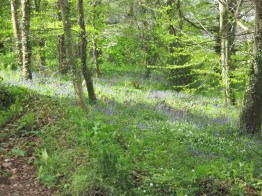 The promised bluebells..