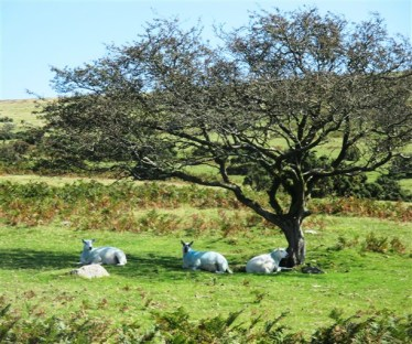 The sheep arent so daft - finding shade