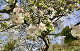 April - Apple Blossom in Clennon Valley