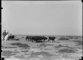 Manejo del toro en el campo camargués a principios del siglo XX. Fotografia de Carle Naudot