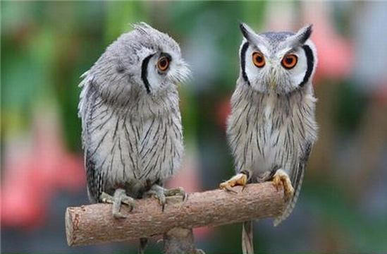 Northern-White-faced-Owl01