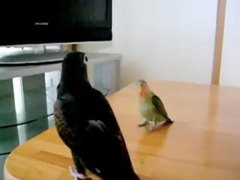 Parrots09