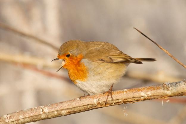 Screaming Birds07